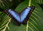 blue_morphos